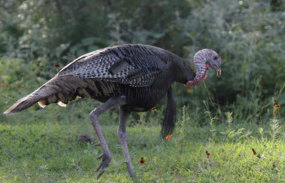 An abundance of 2-year-old Rio Grande turkey gobblers could make this a great spring hunting season as the birds, entering their first mating season as adults, are more susceptible to calling than older, more experienced and wary gobblers. Photo: Picasa