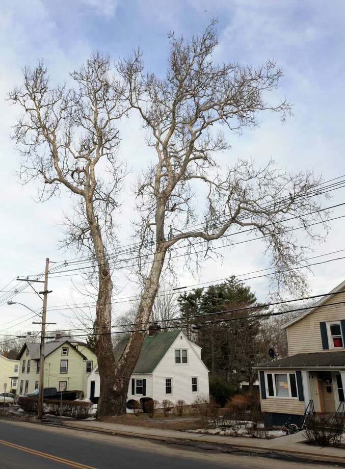 A sycamore tree at West Wooster Street and Winthrop Street in Danbury, Conn., Tuesday, March 11, 2014. Photo: Carol Kaliff / The News-Times