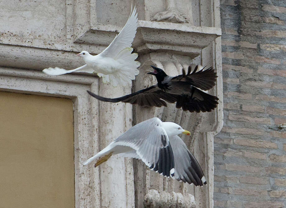 A dove which was freed by children flanked by Pope Francis during the Angelus prayer, is chased by a black crow in St. Peter's Square, at the Vatican, Sunday, Jan. 26, 2014. Symbols of peace have come under attack at the Vatican. Two white doves were sent fluttering into the air as a peace gesture by Italian children flanking Pope Francis Sunday at an open studio window of the Apostolic Palace, as tens of thousands of people watched in St. Peter's Square below. After the pope and the two children left the windows, a seagull and a big black crow quickly swept down, attacking the doves, including one which had briefly perched on a windowsill on a lower floor. One dove lost some feathers as it broke free of the gull, while the crow pecked repeatedly at the other dove. The doves' fate was not immediately known. While speaking at the window, Francis appealed for peace to prevail in Ukraine.  Photo: Gregorio Borgia, ASSOCIATED PRESS / AP2014