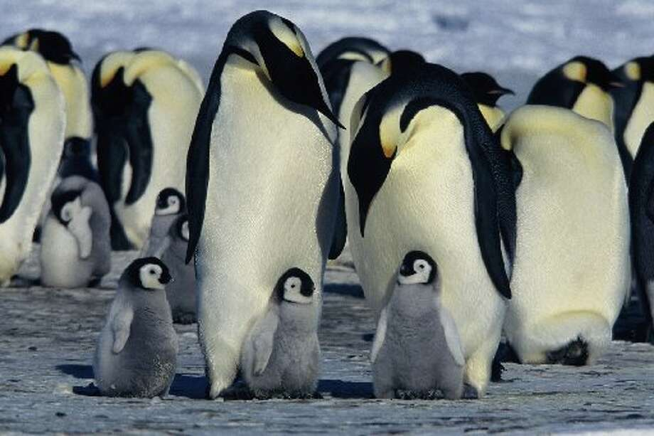 "Aren't these little guys cute? The babies look just like the character in ""Happy Feet."" I do not have happy feet by the end of the day. They are pretty tired, even with my super-sneakers. Photo: Warner Independent Pictures"