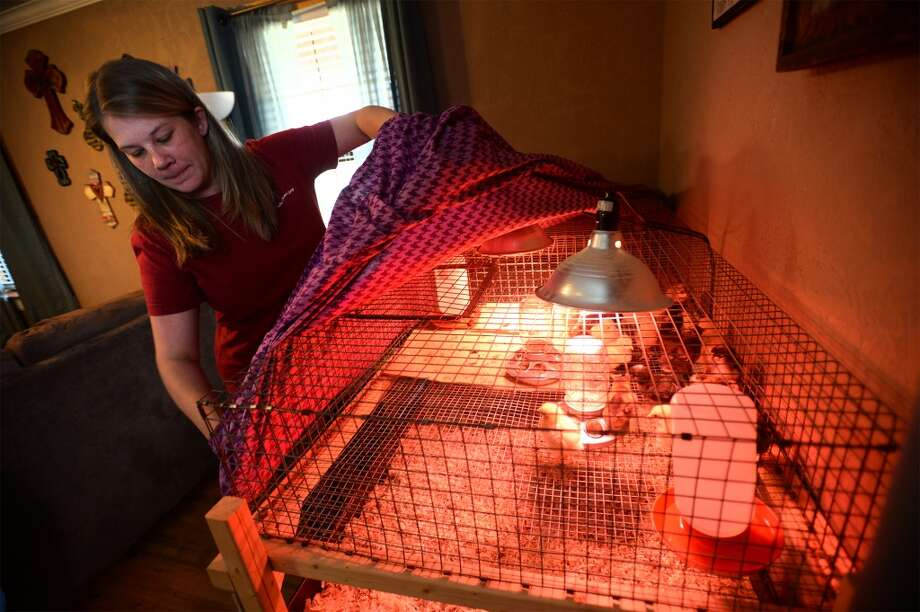 Angie Dickerson covers laying hen chicks at her home. The chicks will eventually lay eggs to be sold at the Beaumont Farmer's Market.  Photo taken Wednesday, March 05, 2014 Guiseppe Barranco/@spotnewsshooter