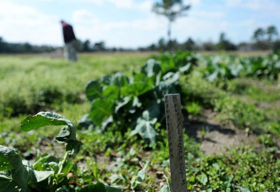 A small stake denotes a row of produce as Brussels sprouts on Donna and Steve Heironimus's land. The couple runs Donna's Farm, a naturally certified farm that will be selling produce at this year's Beaumont Farmer's Market. Photo taken Thursday, 3/6/14 Jake Daniels/@JakeD_in_SETX