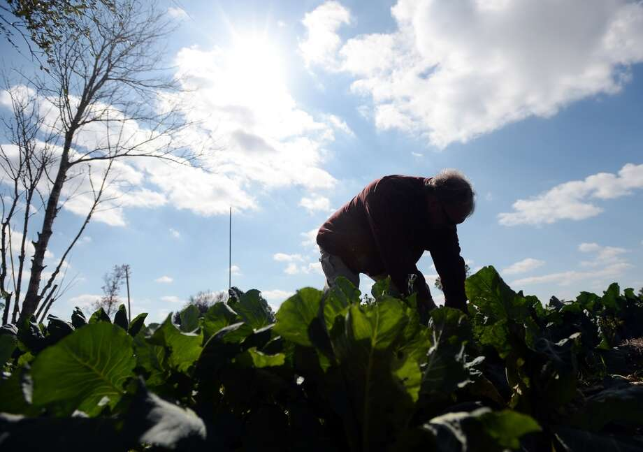 Steve Heironimus looks through the vegetables on his small farm Thursday afternoon. Donna and Steve Heironimus run Donna's Farm, a naturally certified farm that will be selling produce at this year's Beaumont Farmer's Market. Photo taken Thursday, 3/6/14 Jake Daniels/@JakeD_in_SETX