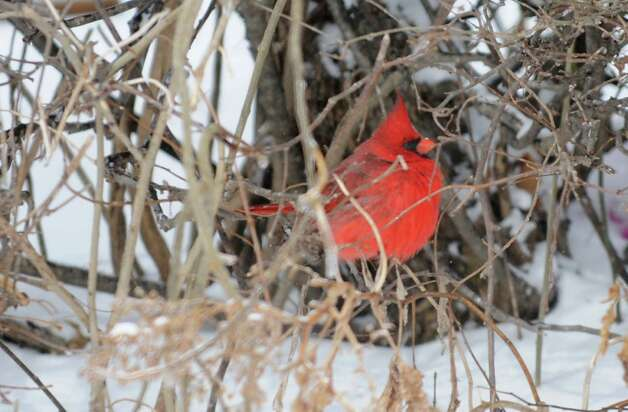 A male cardinal is seen in bushes along Nott Street on Thursday, March 13, 2014, in Schenectady, N.Y.  (Lori Van Buren / Times Union) Photo: Lori Van Buren / 00026147A