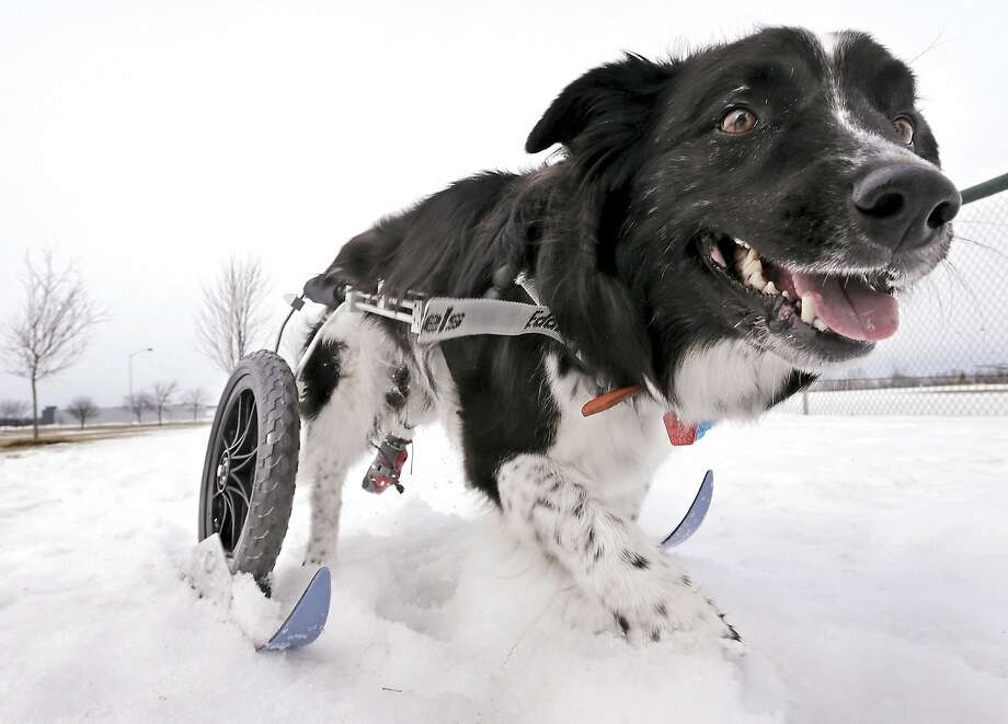 She's ready for the Paralympics!Kadee Mae glides through the snow at the Janesville (Wis.) Youth Sports Complex on custom-made skis attached to her cart. The   10-year-old border collie had a spinal problem that left her rear legs paralyzed. Photo: Dan Lassiter, Associated Press