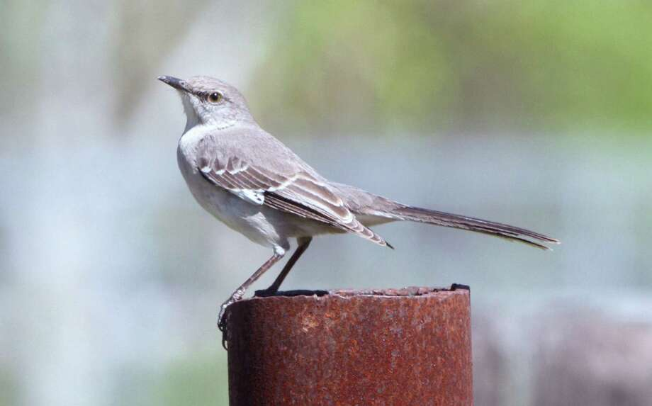 this mockingbird spent the winter on the mims place eating hackberry and mistletoe berries and occasionally