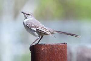This mockingbird spent the winter on the Mims place eating hackberry and mistletoe berries and occasionally copying whistled tunes.