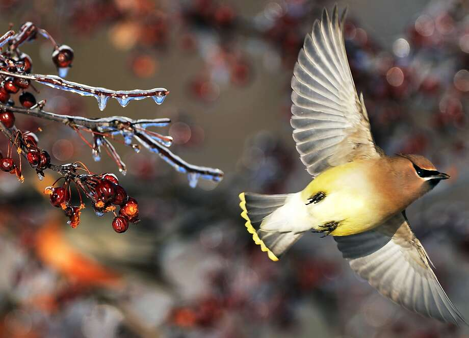 Taking off after fueling up: A Cedar Waxwing flies off after sampling berries near Iroquois 