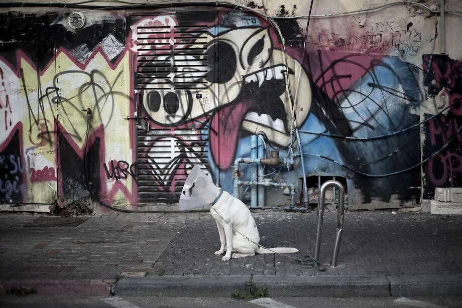 A dog wearing a cone on his neck waits for his owner to return from a shop in Tel Aviv, Israel, Thursday, March 13, 2014. Tel Aviv is home to many dog parks and two beaches where dogs can frolic with their owners, as well as several pet-friendly hotels. Some 400,000 pet dogs are listed on the Israeli Ministry of Agriculture's National Dog Registry, and Tel Aviv has the largest number of registered dog owners in the country. (AP Photo/Ariel Schalit) Photo: Ariel Schalit, Associated Press