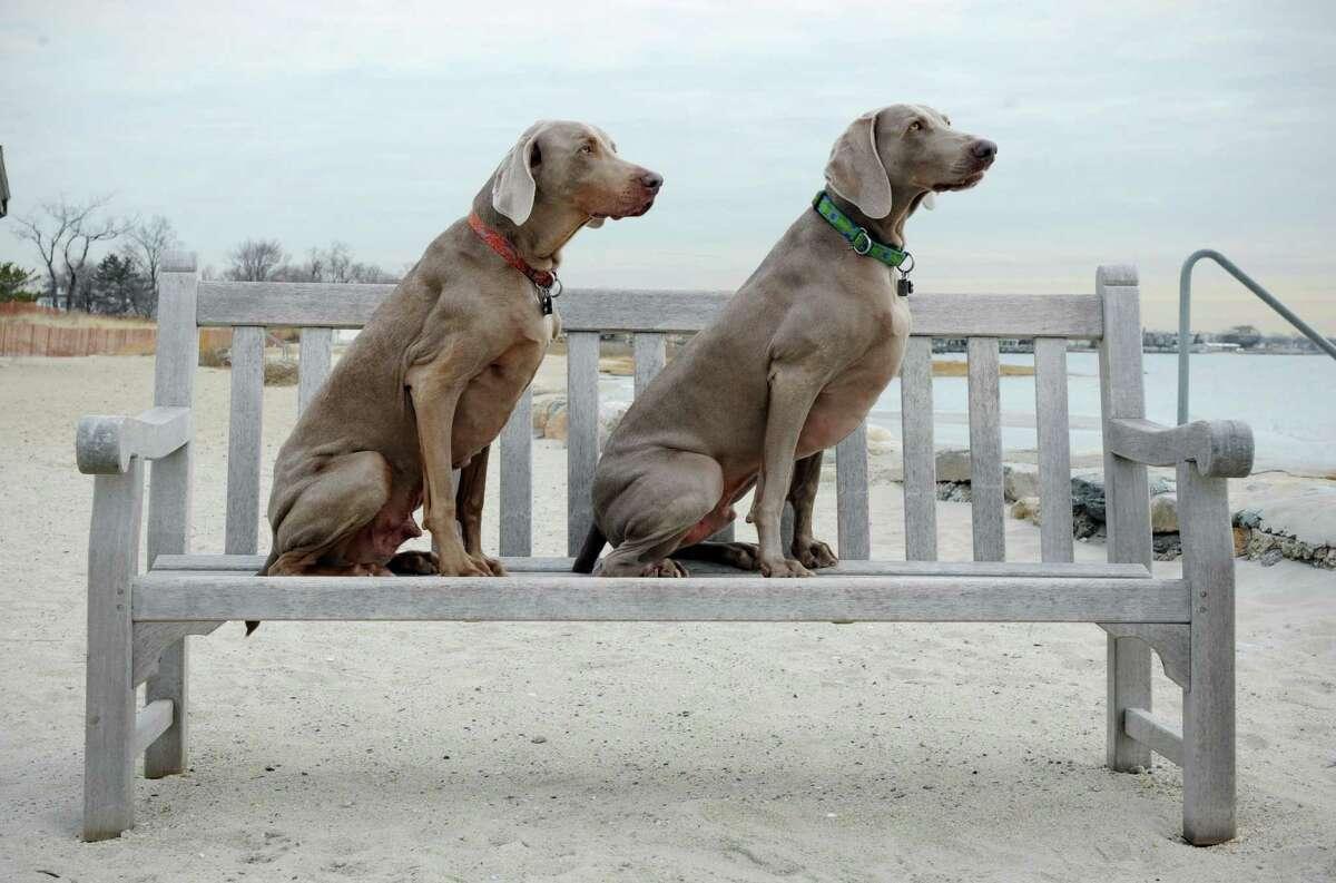 #34. Weimaraner AKC Popularity - 2015: 34 AKC Popularity - 2014: 35 Average Life Expectancy: 11 years Puppy Price: $700 Breed Group: Sporting Nickname(s): Weimaraner Vorstehhund, Weim, Grey Ghost