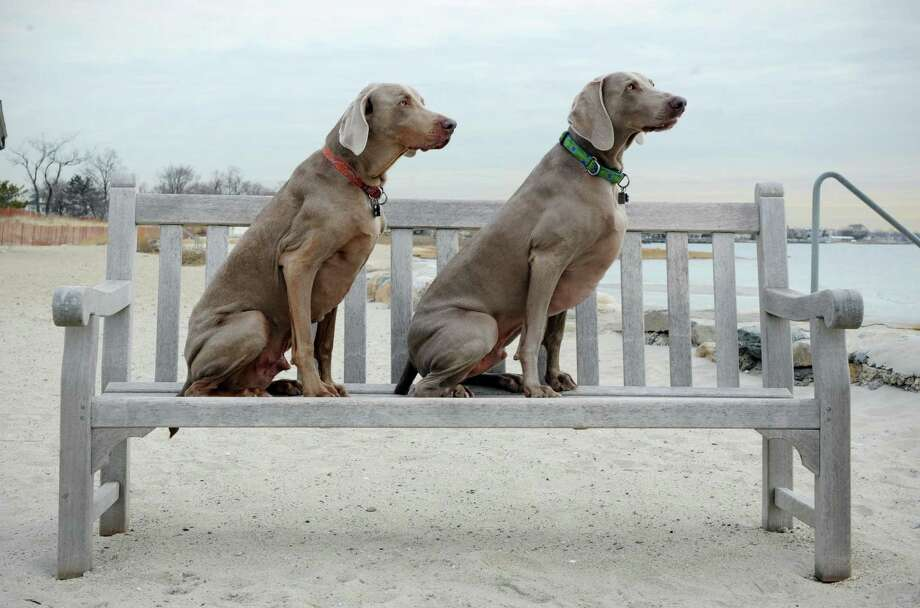 "Weimaraners ""The Bean"" and ""Cosmo"" pose for their owner Elizabeth Oei after a walk at Greenwich Point in Old Greenwich, Conn. on Friday March 14, 2014. Photo: Dru Nadler / Stamford Advocate Freelance"