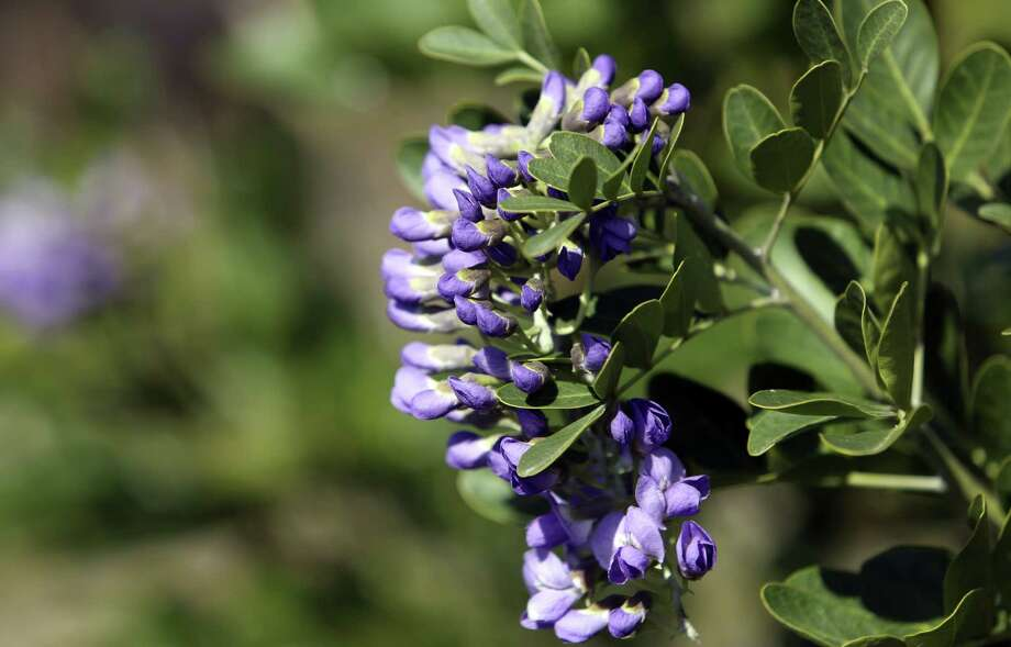 Texas mountain laurels get up to 15 feet tall, 10 feet wide. Photo: San Francisco Chronicle / ©2013 San Antonio Express-News