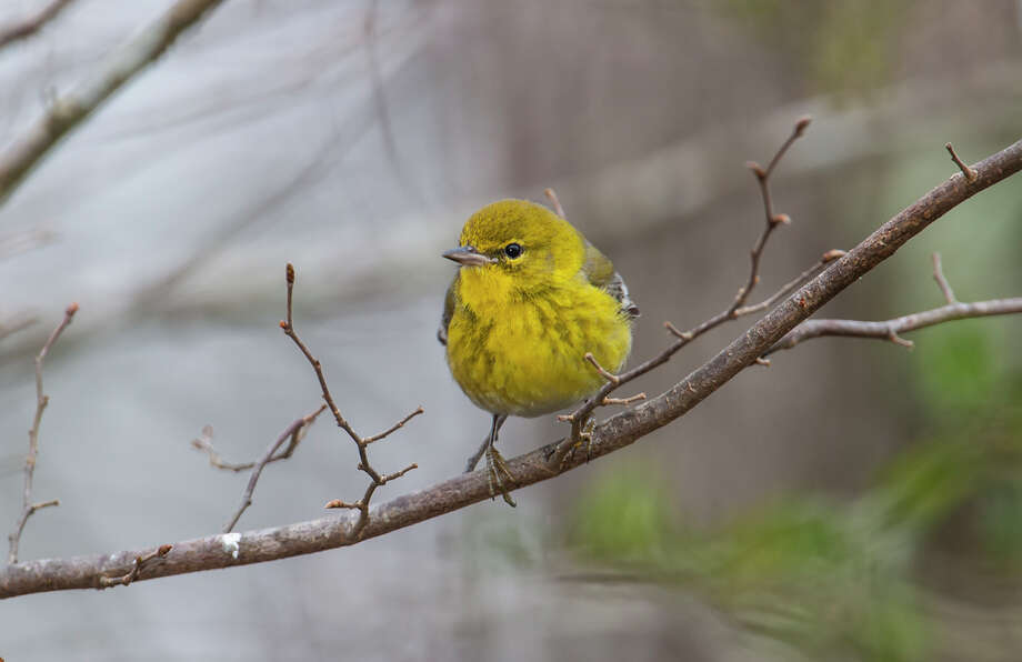 Pine warblers could be a symbol of Houston because of their energy and faithfulness to our neighborhoods. Photo: Kathy Adams Clark / Kathy Adams Clark/KAC Productions