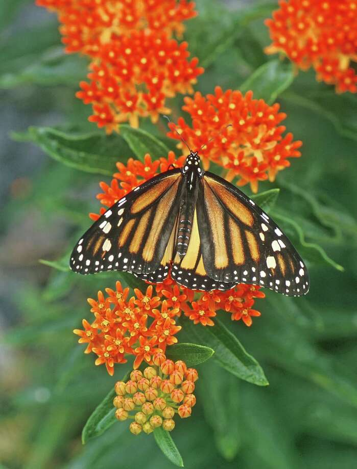 A monarch on Asclepias tuberosa, or butterflyweed. Photo by Janet Davis