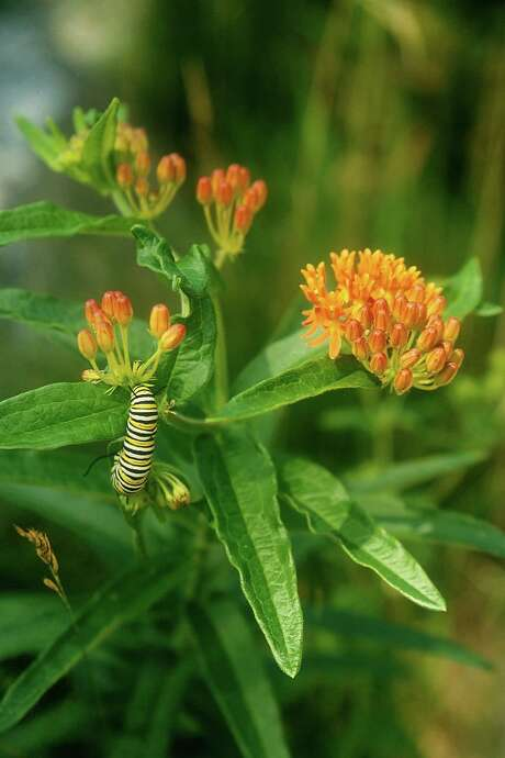 A monarch butterfly caterpillar feeds on Ascelpias tuberosa, or butterflyweed.