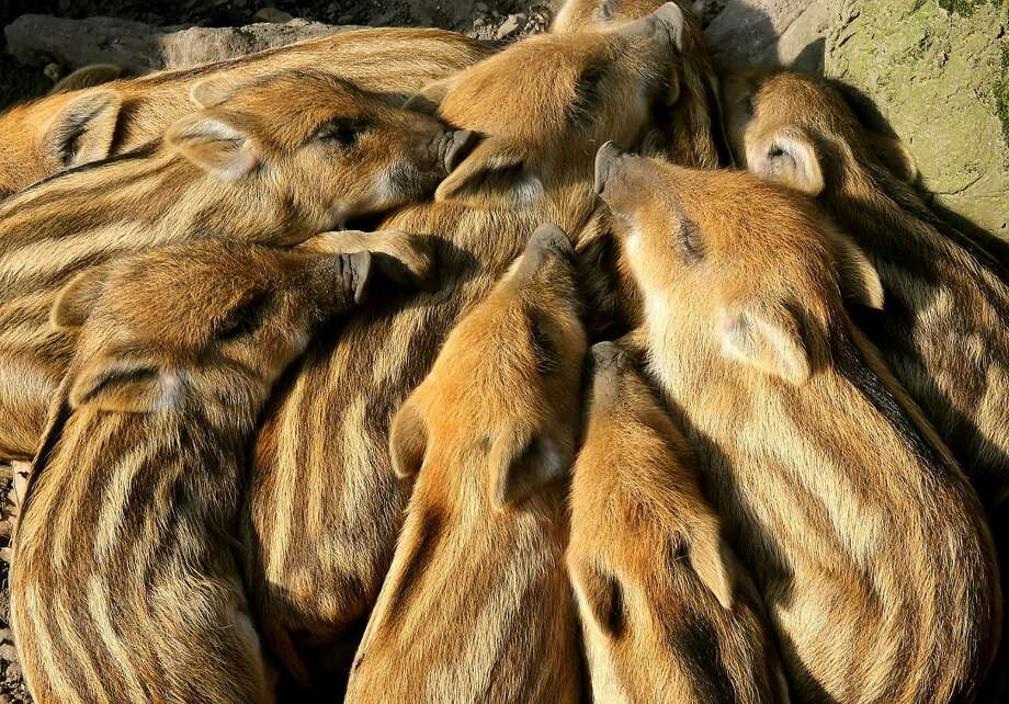Pressed pork:Young boars pile on for a nap at the Huelser Berg deer park in Krefeld, Germany. Photo: Roland Weihrauch, AFP/Getty Images