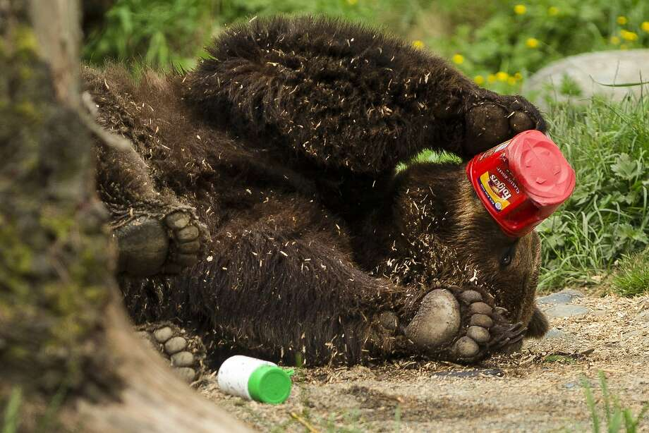 Coffee bruin:To show what can go wrong when food and garbage aren't stored properly in bear country, the Woodland Park Zoo in Seattle unleashed a grizzly on a mock campsite. The bear apparently likes his coffee black and straight out of the can. Photo: Jordan Stead, Seattlepi.com