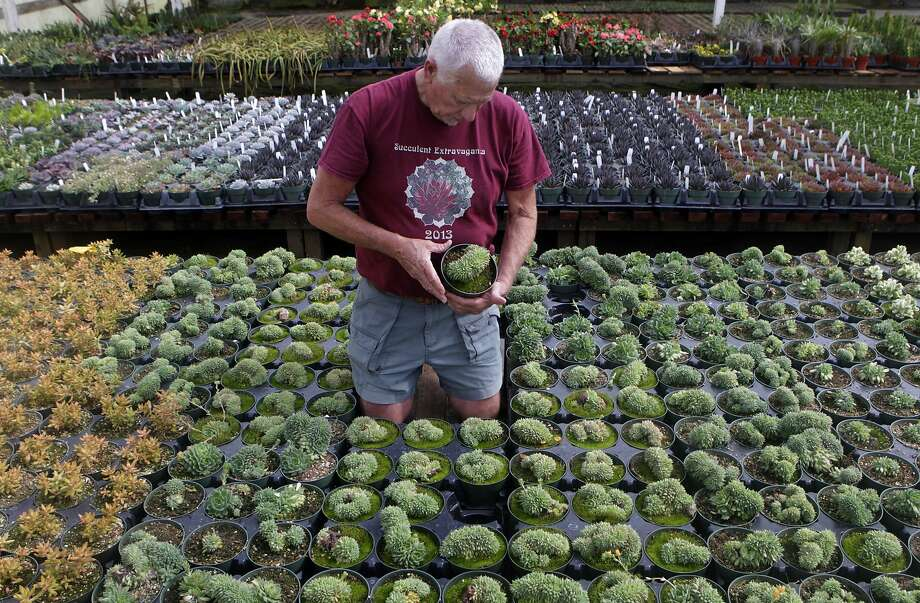 Robin Stockwell carries roughly 750 varieties of succulents, most of which he and his staff propagate at his Succulent Gardens nursery in Castroville. Photo: Paul Chinn, The Chronicle