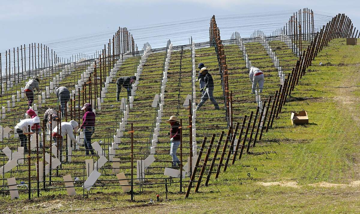New grapes continue to be planted as workers dot a hillside along South El Pomar road in Templeton, Calif. on Friday March 14, 2014. With the current drought a bitter water fight between rural homeowners and large wineries has splintered Paso Robles and surrounding communities.