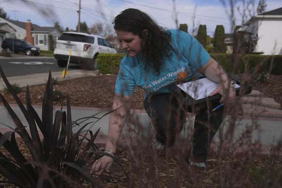 "California Water Service Co inspector Jade Williams does a post installation inspection of a newly replaced front lawn on Friday Mar. 14, 2014 in San Mateo, Calif. The California Water Service Co., has a program called ""lawn be gone"" in which its partnership with the Bay Area Water Supply and Conservation Agency (BAWSCA) provides an inventive way to replace turf with native landscaping."
