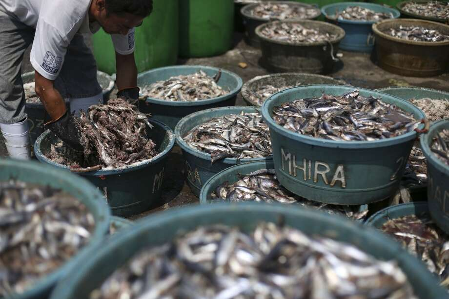 """Philippines: Filipino fish dealer, Arturo Del Rosario, mixes fish and salt in containers at a fish port in Navotas, north of Manila, Philippines on Thursday, March 13, 2014. The containers are then brought to a factory where they are made into a popular Filipino condiment locally called """"bagoong"""" or fish paste. Photo: Aaron Favila, Associated Press"""
