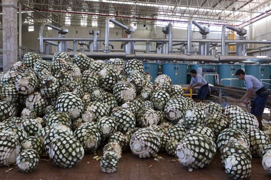 Mexico: Workers cut agave plants to reveal the pina, or pineapple that is at the core, before they are transported to ovens for baking at Tequila Don Julio SA de CV's La Primavera distillery in Atotonilco, in the state of Guadalajara, Mexico, on Thursday, Feb. 27, 2014. Tequila Don Julio SA de CV makes a range of handcrafted, 100 percent blue Weber agave tequilas. Mexico is working to export more tequila to China, Foreign Minister Jose Antonio said in an interview. Photo: Susana Gonzalez, Bloomberg