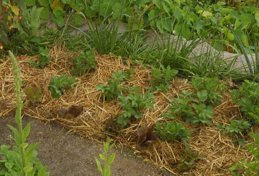 Potatoes and lettuce, planted in a recent February, were harvested by May. Crops growing in the wetter, cooler months require little or no supplemental water.
