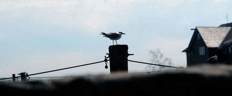 Under a fair sky, a gull sits on pole in Byram Harbor, Greenwich, Conn, Saturday, March 15, 2014. Photo: Bob Luckey / Greenwich Time