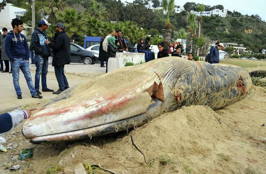 People gather around a 10-metre (33-foot) whale which lies ashore  in Sidi Bou Said, north of the capital Tunis, Monday, March 10, 2014. The mammal died on Sunday after becoming tangled in a Tunisian fisherman's nets. Photo: Hassene Dridi, AP / AP