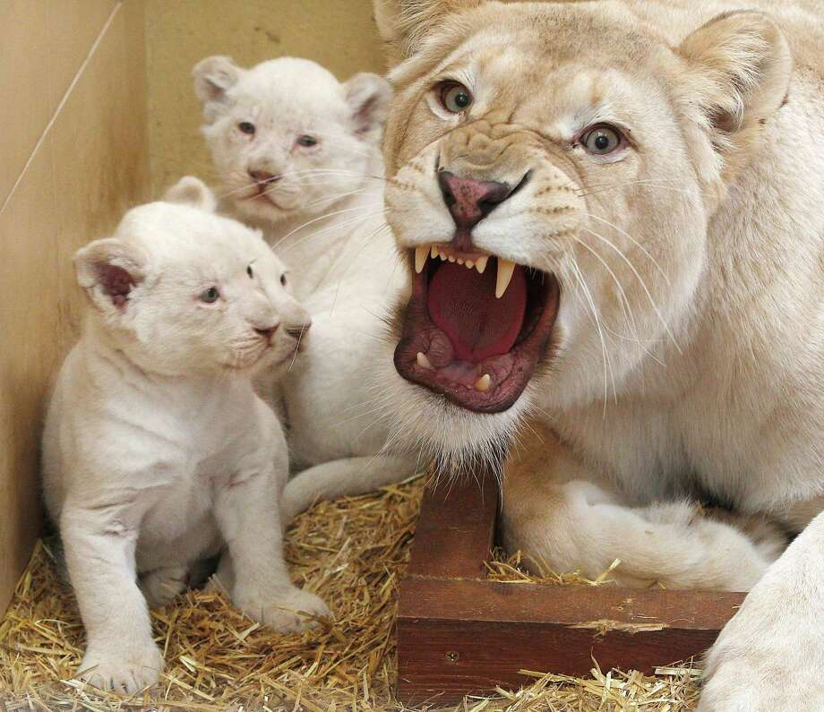 Three baby white lions with their mother, Azira  sit in their enclosure at a private zoo in Borysew, Poland, on Tuesday, March 11, 2014. Born Jan.28, they  will be let out into the open air in April and will be available for visitors to see in May. Photo: Czarek Sokolowski, AP / AP2014