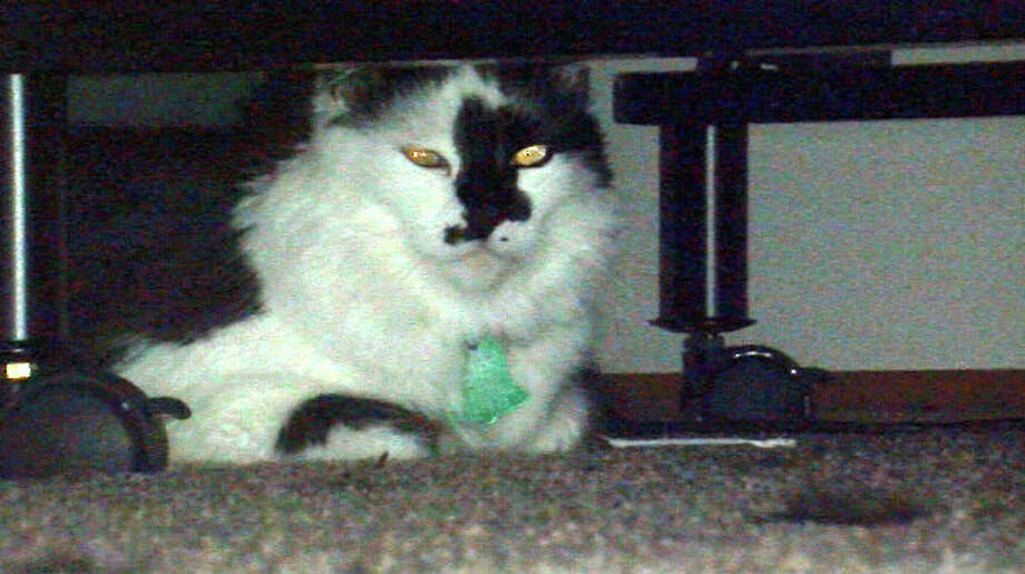 In this photo taken Tuesday, March 11, 2014, Lux, the family cat of Teresa Barker and her boyfriend Lee Palmer and their 8-month-old son, Jesse, hides under a bed at the family's home in Portland, Ore.  Portland police had to be called in to subdue the 22-pound house cat that trapped its owners inside their bedroom after attacking their baby. The baby was not injured in the Sunday, March 9, 2014, incident. (AP Photo/The Oregonian,  Stuart Tomlinson) Photo: Stuart Tomlinson, AP / The Oregonian