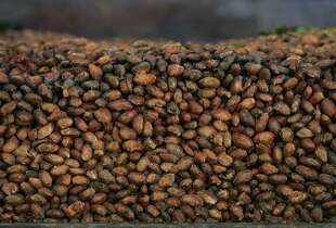 File - This Thursday, Nov. 24, 2005 file photo shows organic cocoa beans in storage at a factory in Ocumare de la Costa, 100 kilometers (60 miles) west of Caracas, Venezuela. A large-scale study is being launched in 2014 to see if pills containing the nutrients in dark chocolate can help prevent heart attacks and strokes. It is sponsored by the National Heart, Lung and Blood Institute and Mars Inc., maker of M&M's and Snickers bars. The candy company has patented a way to extract flavanols from cocoa in high concentration and put them in capsules.