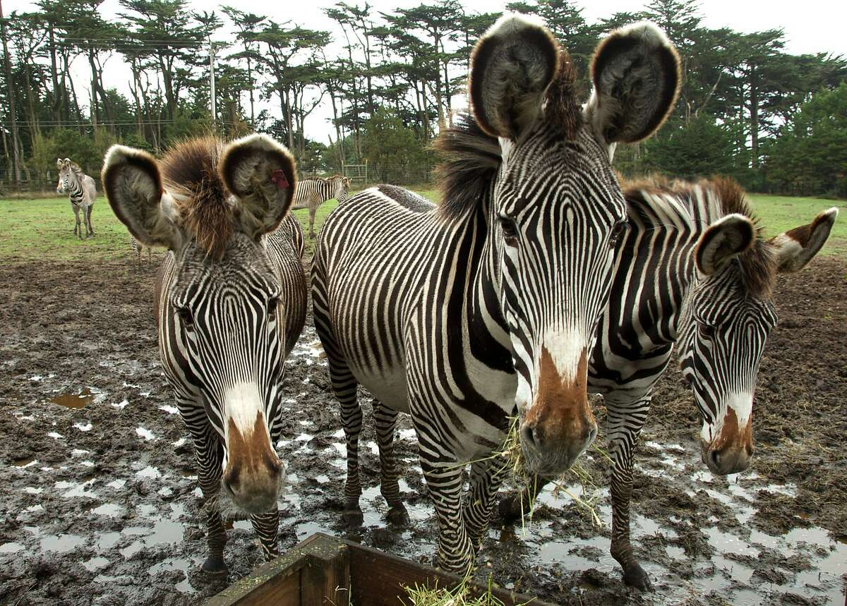 Five of only 2,450 Grevy's zebras in the world, at the B Bryan Reserve in Point Arena.
