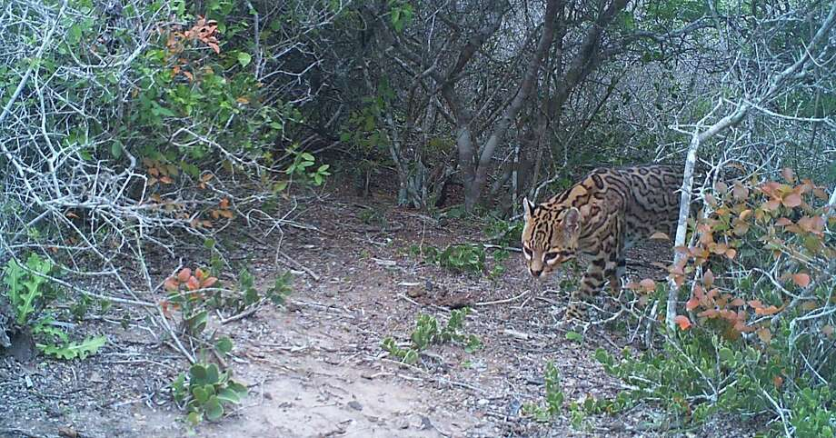 An adult ocelot roams at the Laguna Atascosa Wildlife Refuge in South Texas. Photo: U.S. Fish & Wildlife / Copyright 2012