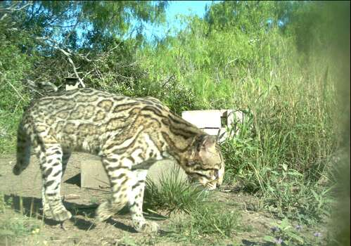 An adult ocelot roams at the Laguna Atascosa Wildlife Refuge in South Texas. Photo: U.S. Fish & Wildlife