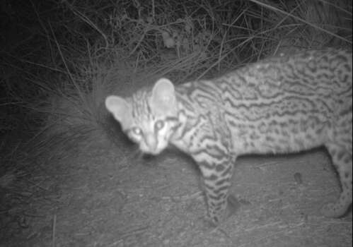 This ocelot kitten was discovered at the Laguna Atascosa Wildlife Refuge in March. Photo: U.S. Fish & Wildlife