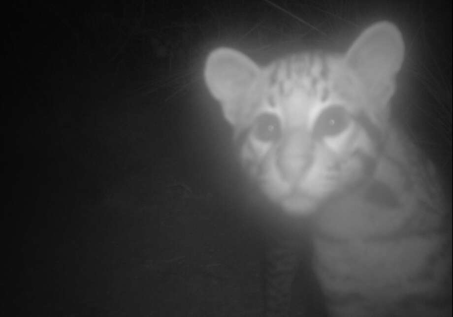 A new ocelot kitten was discovered at the Laguna Atascosa Wildlife Refuge earlier this month. Photo: U.S. Fish & Wildlife
