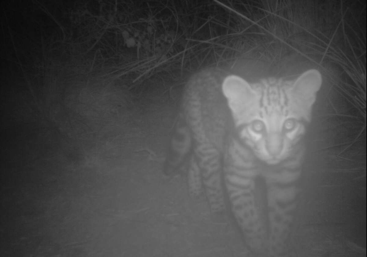 A new ocelot kitten was discovered at the Laguna Atascosa Wildlife Refuge earlier this month.