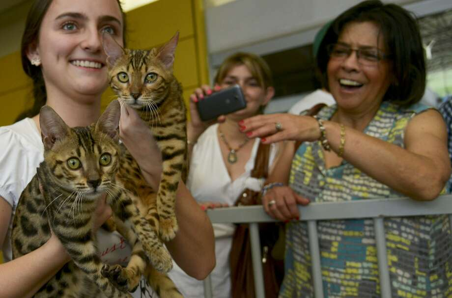 Cats cradled:Bengals are always a crowd pleaser at the International Feline Fair in Medellin, Colombia. Photo: Raul Arboleda, AFP/Getty Images