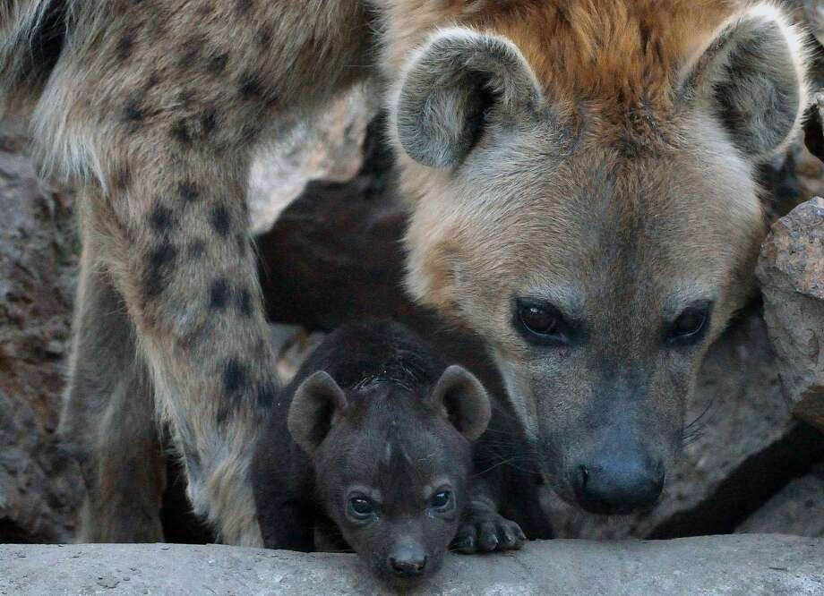 Exploration is serious business: With nary a laugh or even a chuckle, a baby spotted hyena explores the Animal Garden in Szeged, Hungary, under the watchful eye of its mother. Photo: Csaba Segesvari, AFP/Getty Images
