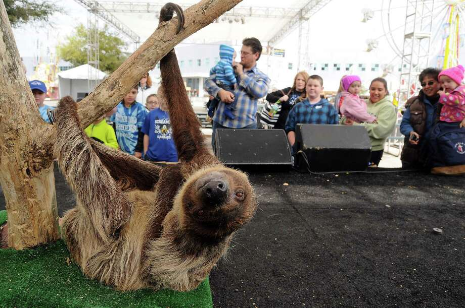 A two-toed sloth hangs on a tree during the Amazing Animals show on the Stars Over Texas Stage at the Houston Livestock Show & Rodeo Monday March 17, 2014. Photo: Dave Rossman, For The Houston Chronicle / Freelance