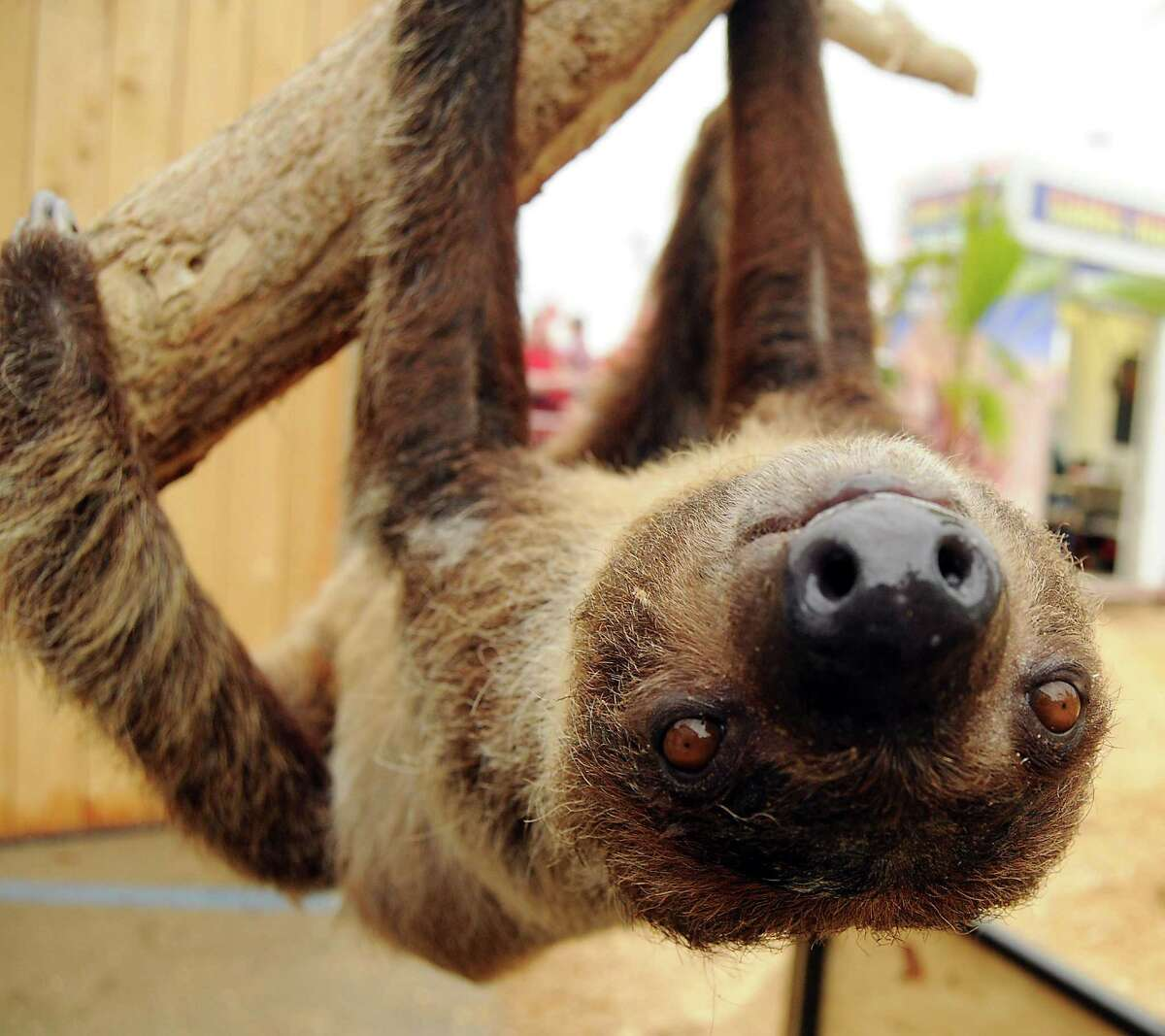 A two-toed sloth named Sid hangs around at Mark Schoebel's booth at the rodeo Saturday March 15, 2014.