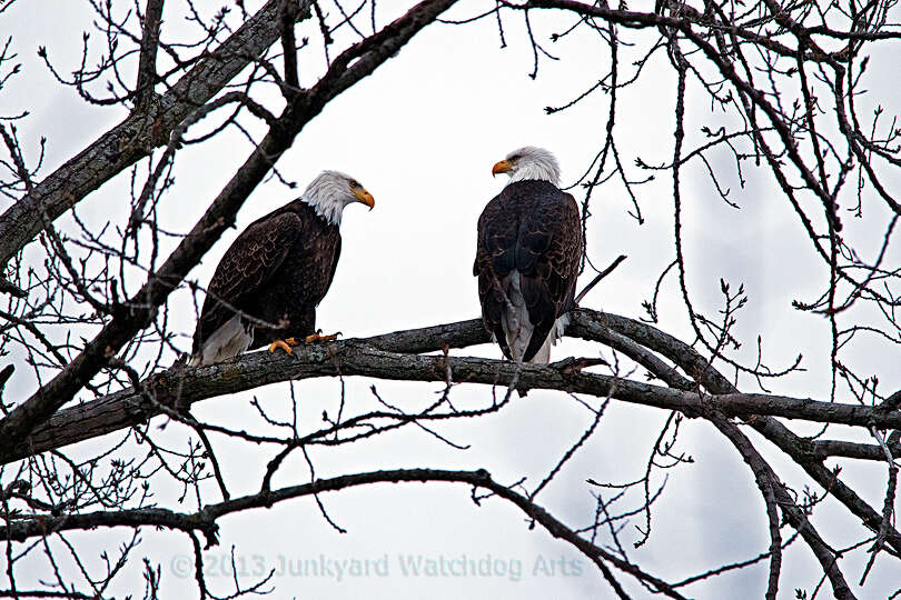 Battenkill Conservancy's annual eagle watch outing led by Ron Renoni attracted nearly 50 eagle enthu