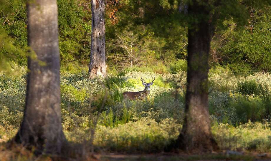 No. 15: Deer hunting. California deer numbers are down 80 percent, mountain lions are picking off fawns and those deer that do survive are going bald. Whitetail deer on the East Coast are healthy, plentiful and feasting on field corn and flower gardens. Photo: James Nielsen, Chronicle