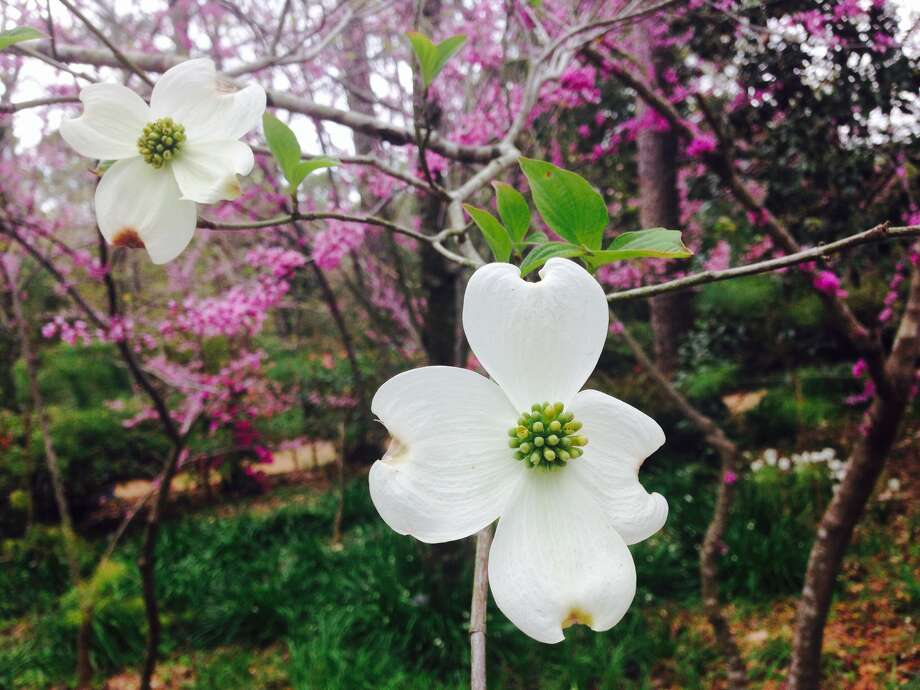 Dogwood and redbud trees are in bloom at Bayou Bend. Photo: Melissa Ward Aguilar
