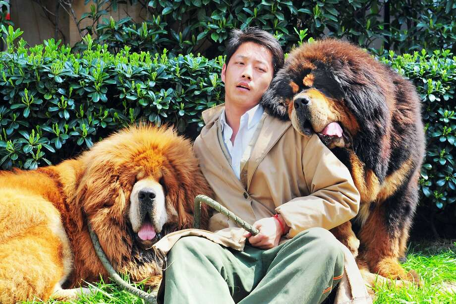 $2 million dog: An unidentified man poses with two Tibetan mastiffs after they were sold at a luxury pet  fair in Hangzhou, China. One reportedly fetched almost $2 million in what could be the most expensive canine sale ever. Photo: Stringer, AFP/Getty Images