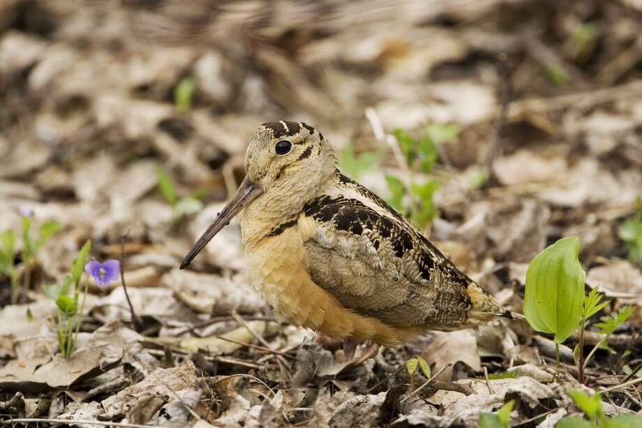 American Woodcock (Scolopax minor), Rondeau Provincial Park, Ontario, Canada. On Saturday, a group of intrepid adventurers will set out at Audubon Greenwich to see if they can find that site's resident woodcocks. Photo: Ron Erwin, Getty Images/All Canada Photos