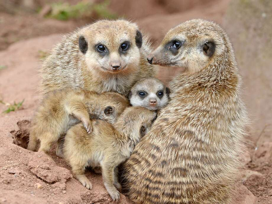 It's so hard to get the young ones to look at the camera:A couple of shy subjects spoil the meerkat family group portrait at the  zoo in Erfurt, Germany. Photo: Jens Meyer, Associated Press