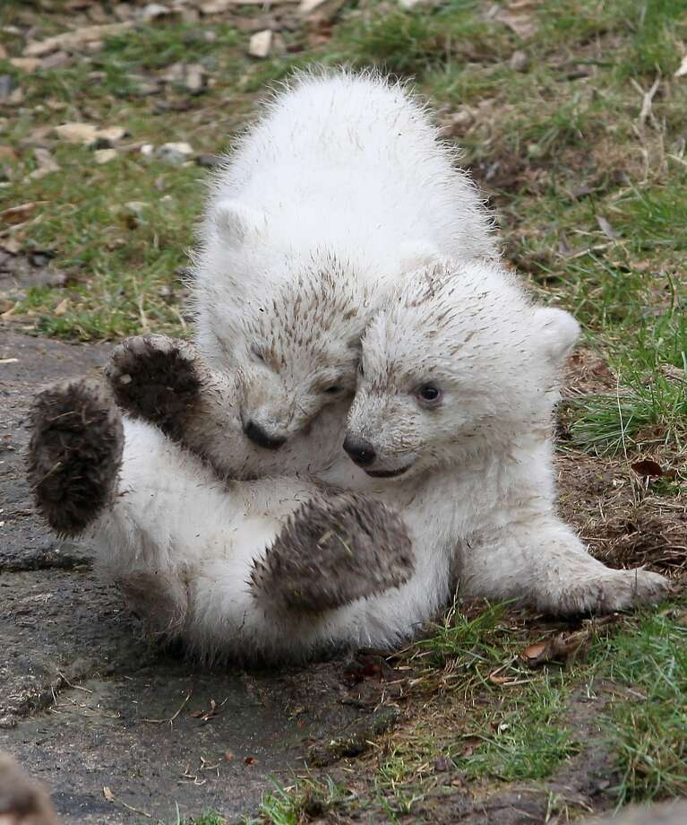 Call it a tie:The 14-week-old Hellabrunn polar bear cubs make their first public appearance at the Munich zoo and waste no time seeing who can get the dirtiest. Photo: Alexandra Beier, Getty Images