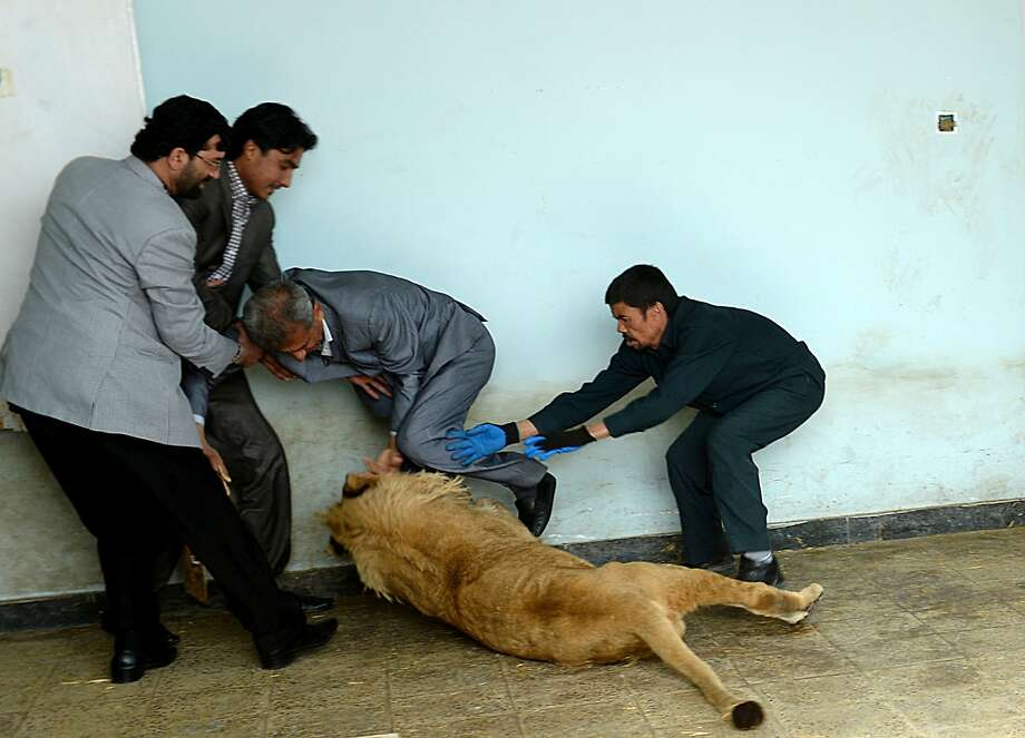 Give the gentleman his leg back, Marjan: Afghan zookeeper Qurban Ali (right) tries to prevent Marjan the lion from playfully eating a well-dressed visitor to Kabul's zoo. The lion was kept by a wealthy businessman on a private rooftop in the city until the animal, sick and close to death, was rescued by animal welfare officials last year. Photo: Shah Marari, AFP/Getty Images